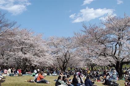 花見の歴史~梅から桜へ